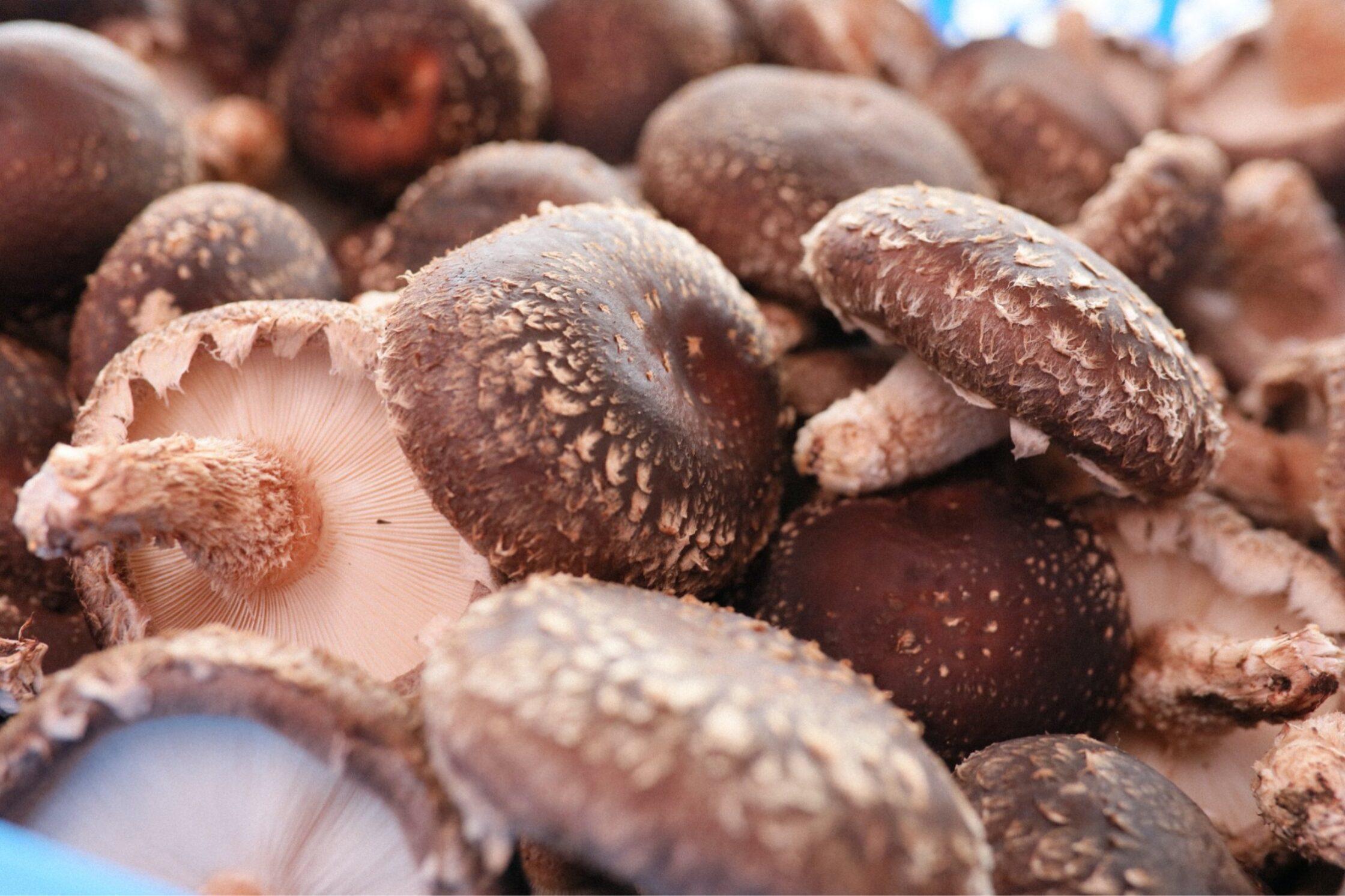 収穫したてのたくさんの椎茸の画像